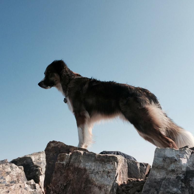 Loki Dog